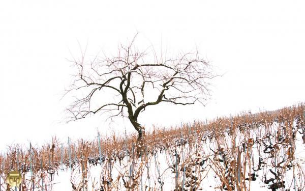 Nu au milieu des vignes