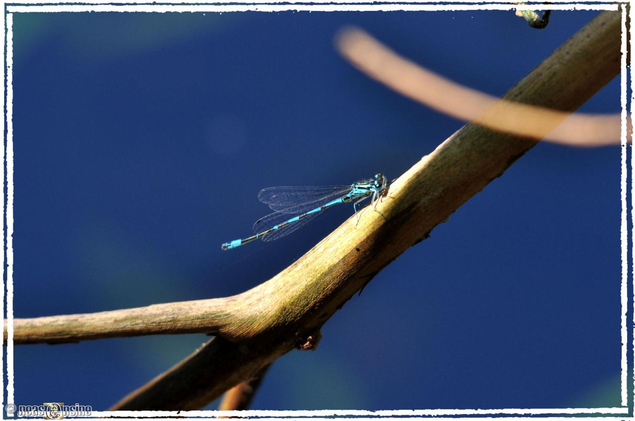 L'été de la libellule bleue