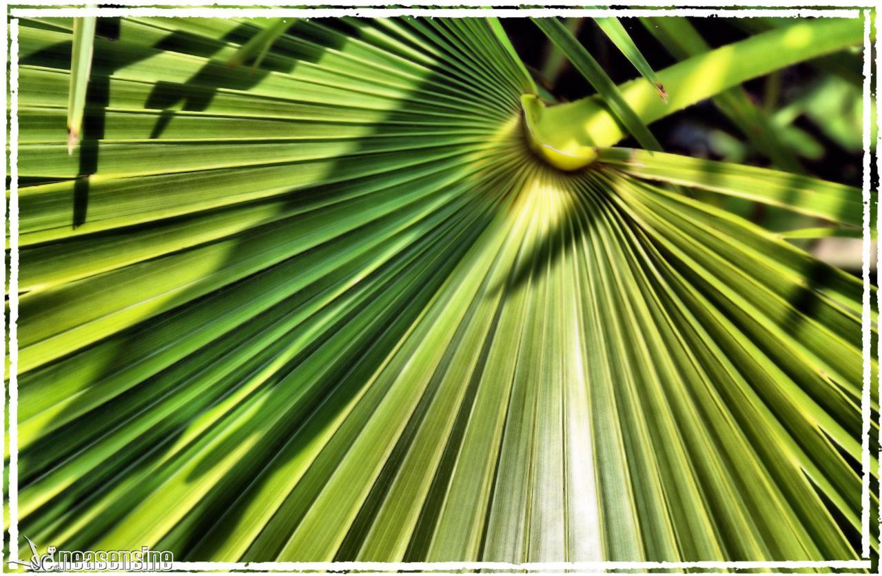 Le palmier de Chine ou palmier à chanvre