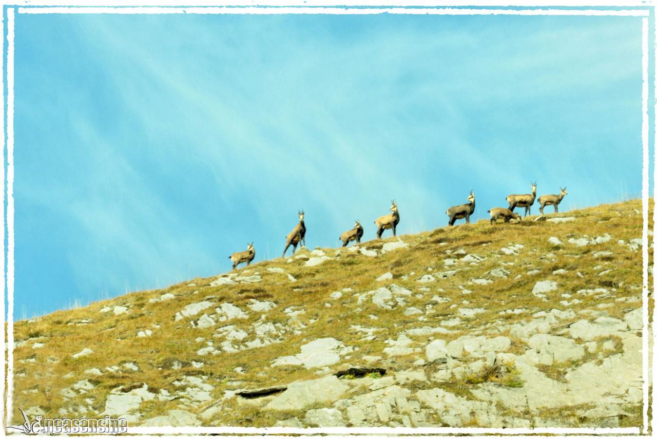 Les chamois du Mont-Perron