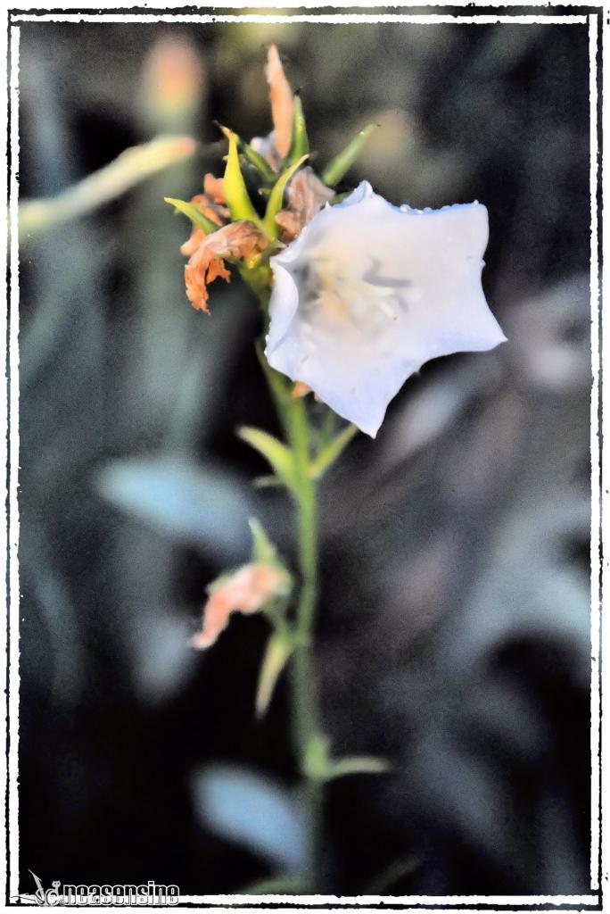 Une vivace blanche du mayen