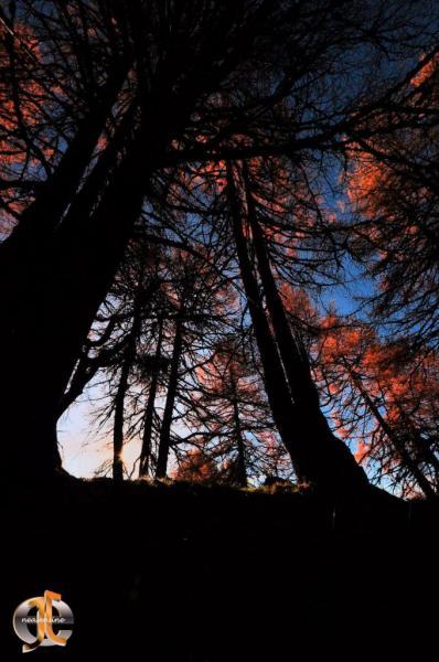 Mélèzes en feu