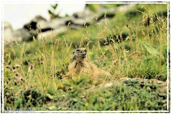 Siffleuse en herbe
