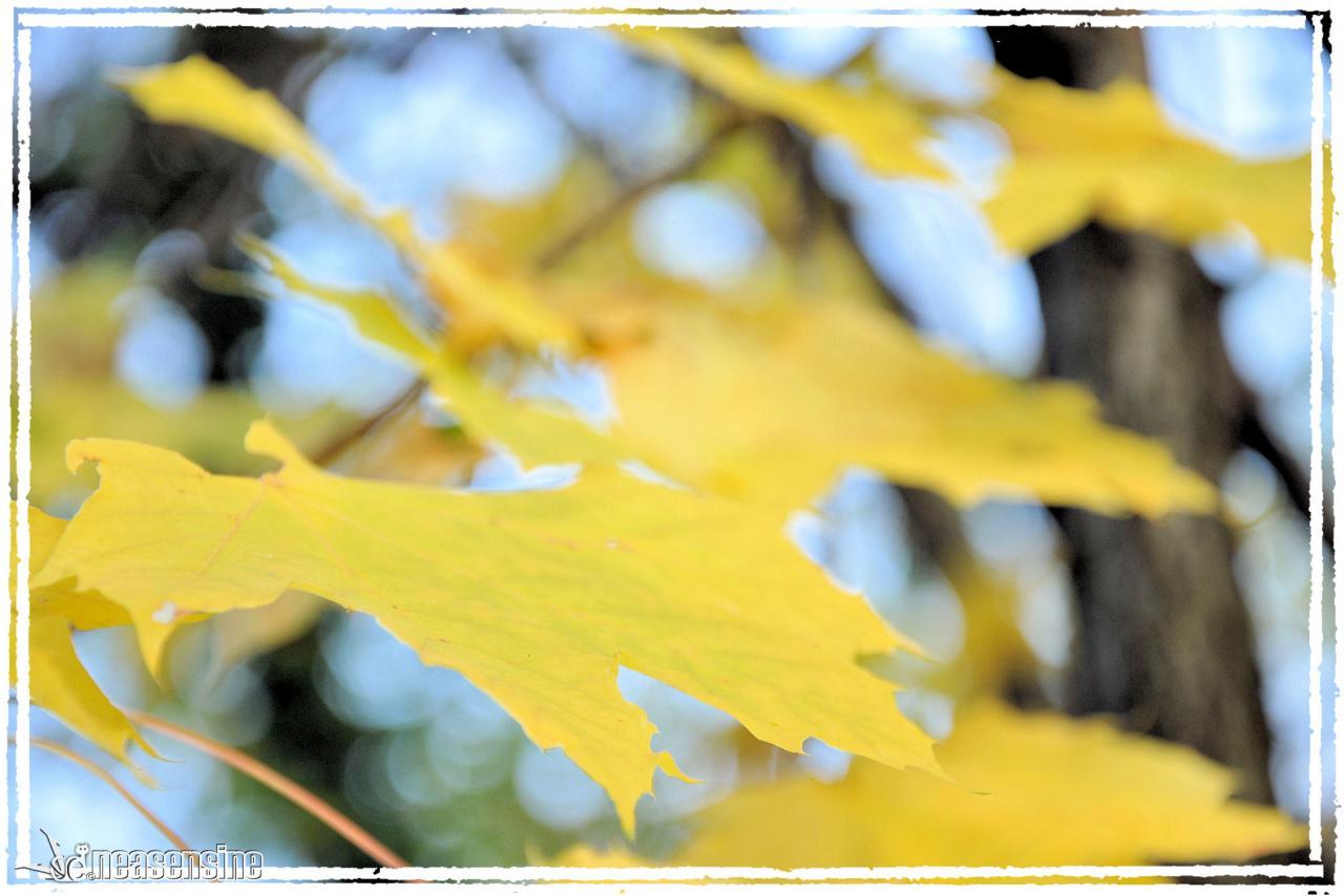 Maillon jaune