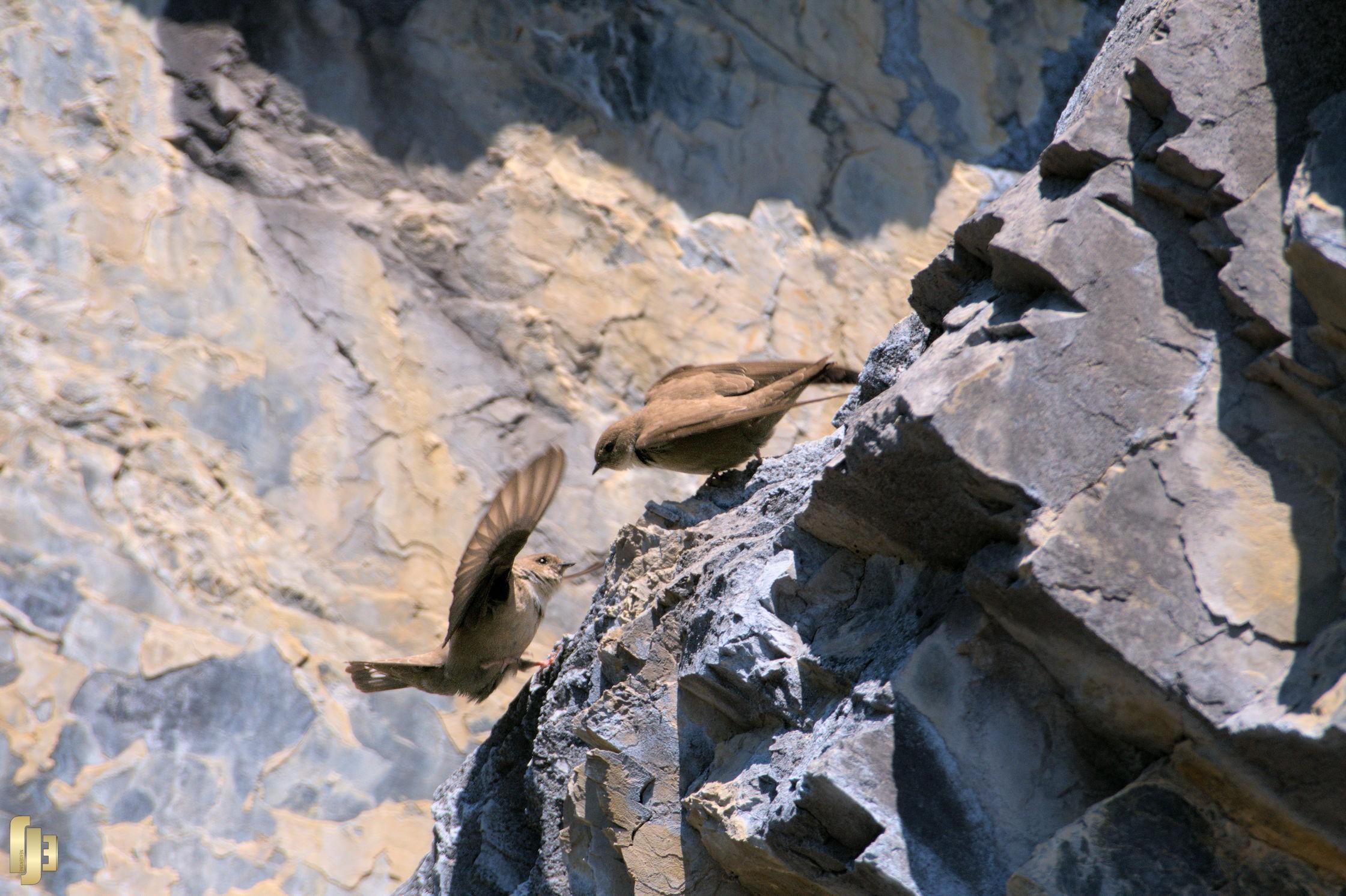 L'hirondelle des rochers