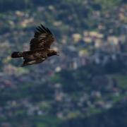 Un aigle sur la ville