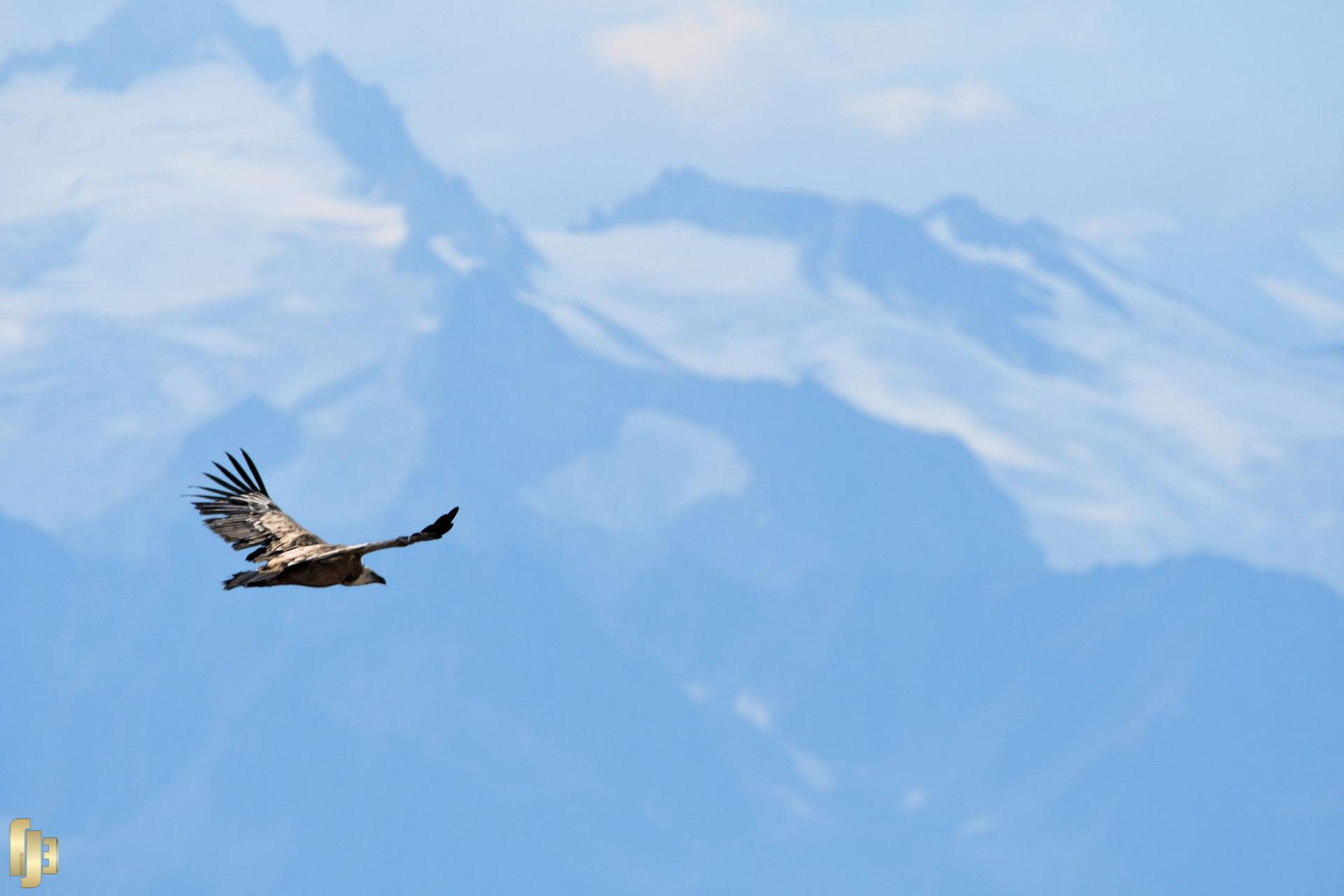 Le Vautour-Fauve dans le ciel valaisan