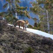 Le renard de Terti